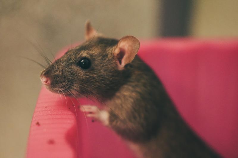 Rattenkäfig aus Metall
