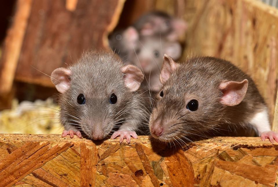 Wie groß muss ein Käfig für 2 Ratten sein? Käfig Groß Mindestens