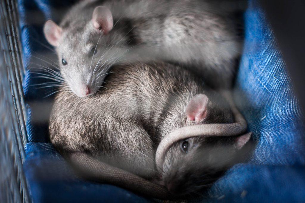 Artgerechte Rattenhaltung