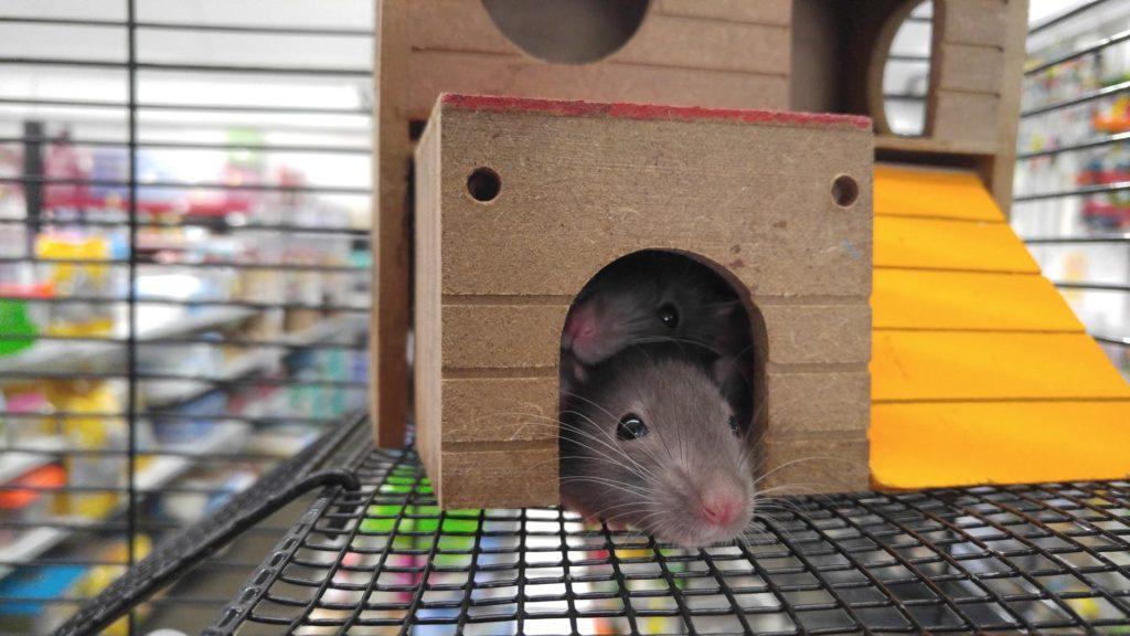 / Kriterien für den Kauf eines Rattenkäfigs