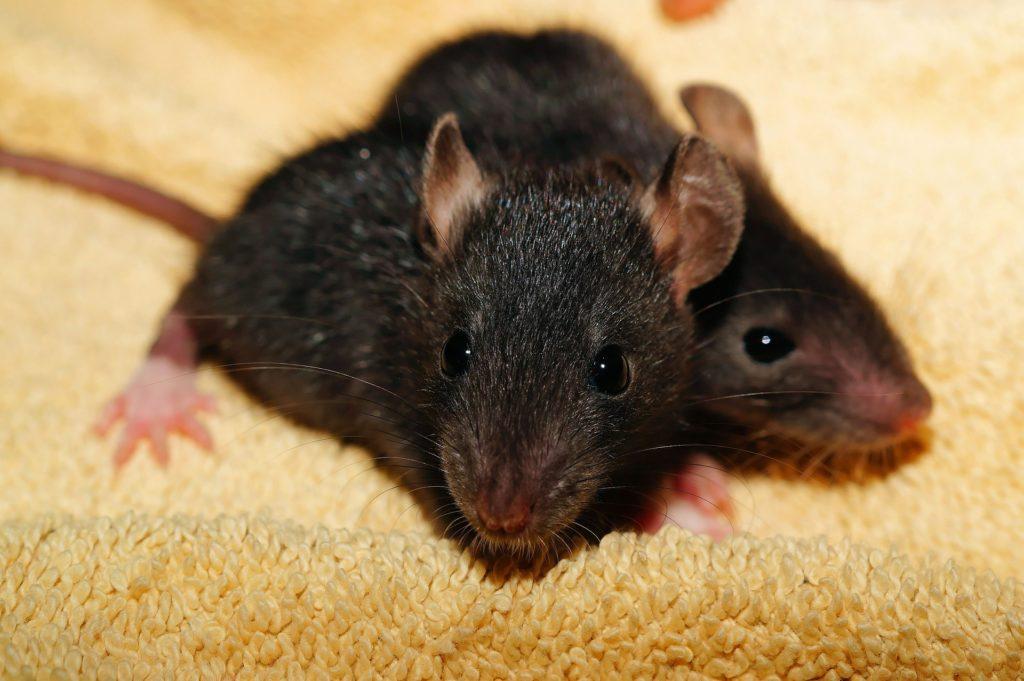 Rattenkäfig kaufen