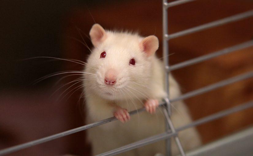 Rattenkäfig aus Holz